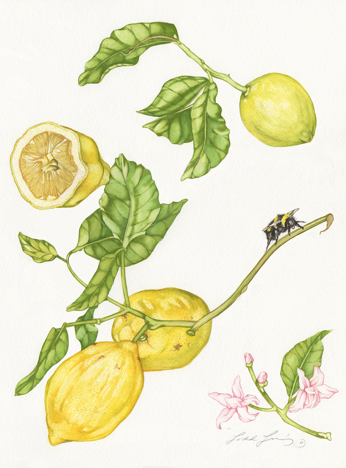 Lemons with Bumble Bee