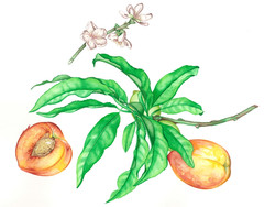 Helen's Peaches #122