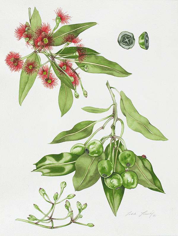 San Francisco Eucalyptus #136