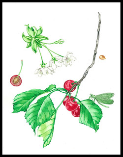 Cherries and Lacewing #38