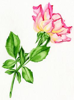 Rose #5 #82