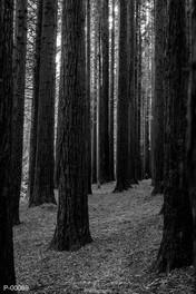 P00069 - Tall Timber
