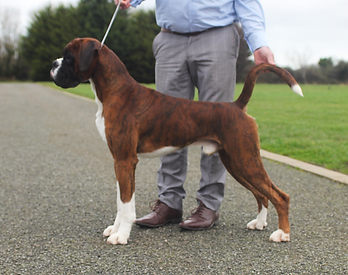 Bessbox Boxers, Boxer Stud Dogs available - Jamarow Dexter in the Dark. Heart Scored HT0