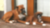 Araby On The Run toBessbox US Import and Irish ChampionWalkend Boy at Bessox as a puppy