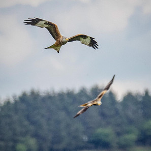 Red Kite - County bird of Powys