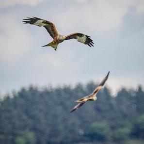 Red Kite - County bird of Powys