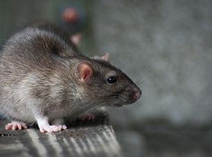 Pest control Rats.jpg
