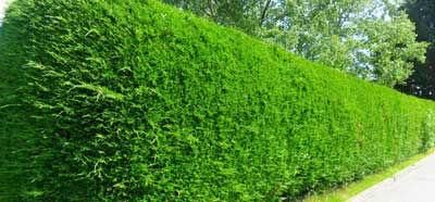 fencing hedging