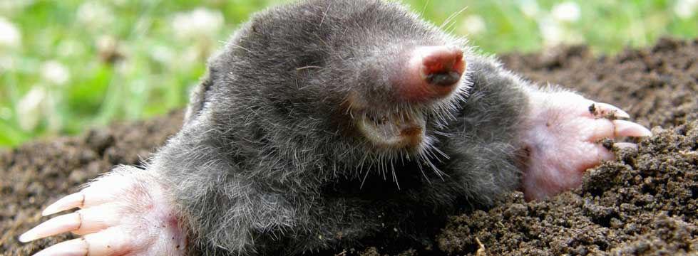moles in the garden
