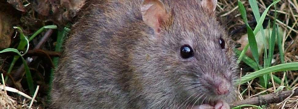 rat bait certificates for farm rat control