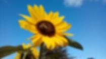 Avebury sunflower.jpg