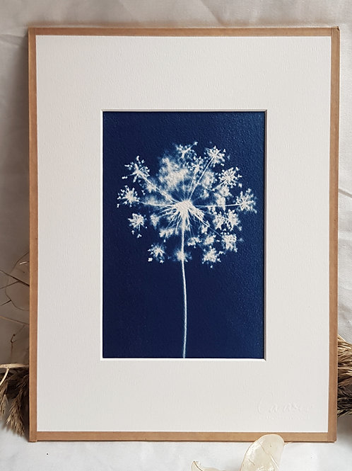 Fleur de carotte sauvage - cyanotype encadré - 18x24cm