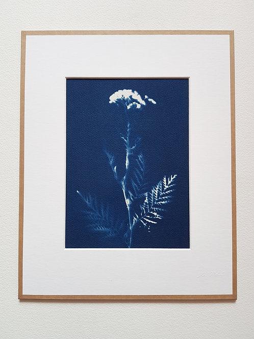 Cyanotype encadré 24x30cm - Tanaisie