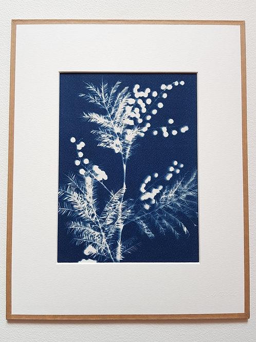 Cyanotype encadré 24x30cm - Mimosa