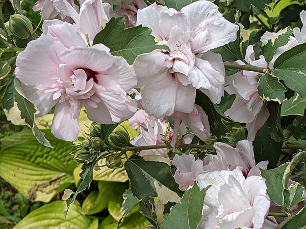 Double Blossom Rose of Sharon