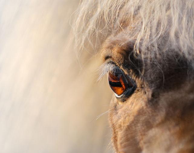 Close up shot - eye of miniature horse.j