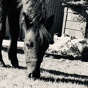 Sami grazing.jpg