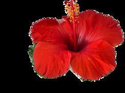 hibiscus_edited_edited.png