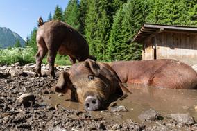 carnerie-by-joergnerhof-schweine-suhlen-