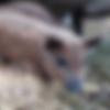 patenschwein-onofrio.png