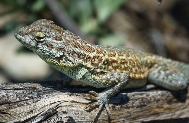 Side Blotched lizard.JPG