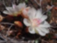 Pebble Plain Bitterroot.JPG
