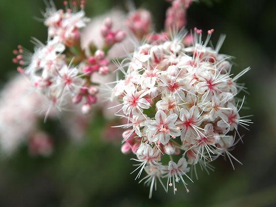 Buckwheat (Eriogonum faciculatum).JPG