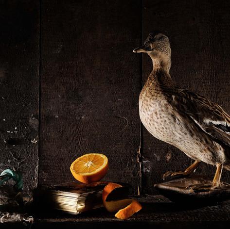 Canard (Anas fulvigulas 1)