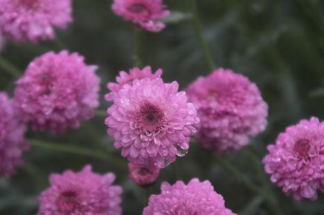 dewy Fleurs