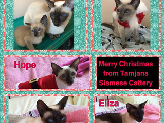 Merry Christmas from Tamjana Siamese Cattery