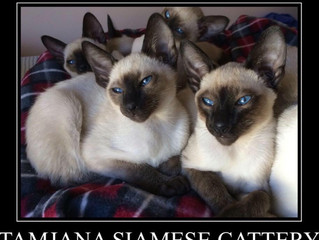 Tamjana Siamese Cattery