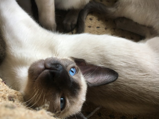 Miss Meka's siamese seal point kittens 11 weeks old