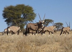 Le miracle des gazelles et antilopes du Souda (Sudan Embassy in France)