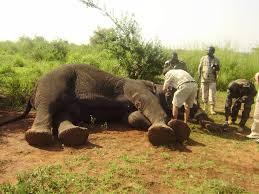 ELEPHANTS in DANGER