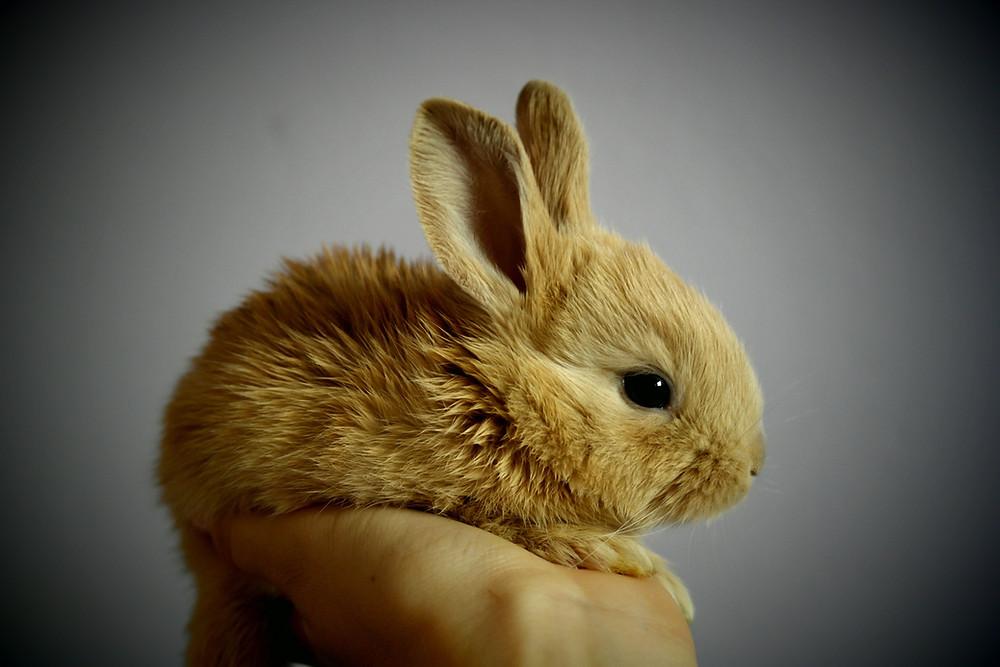 Mały brązowy króliczek na ręce