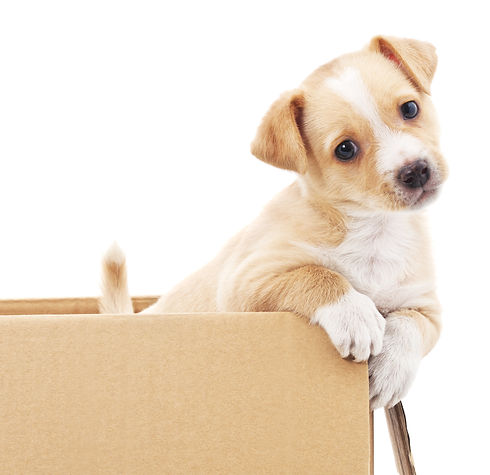 Brown puppy in a box isolated on white b