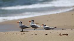 Royal Terns Hangout