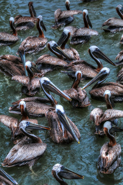 Pelicans of Shem Creek Carol R Montoya F