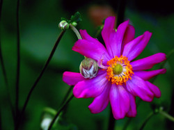 Japanese Anemone II Carol R Montoya Fine Art Photography