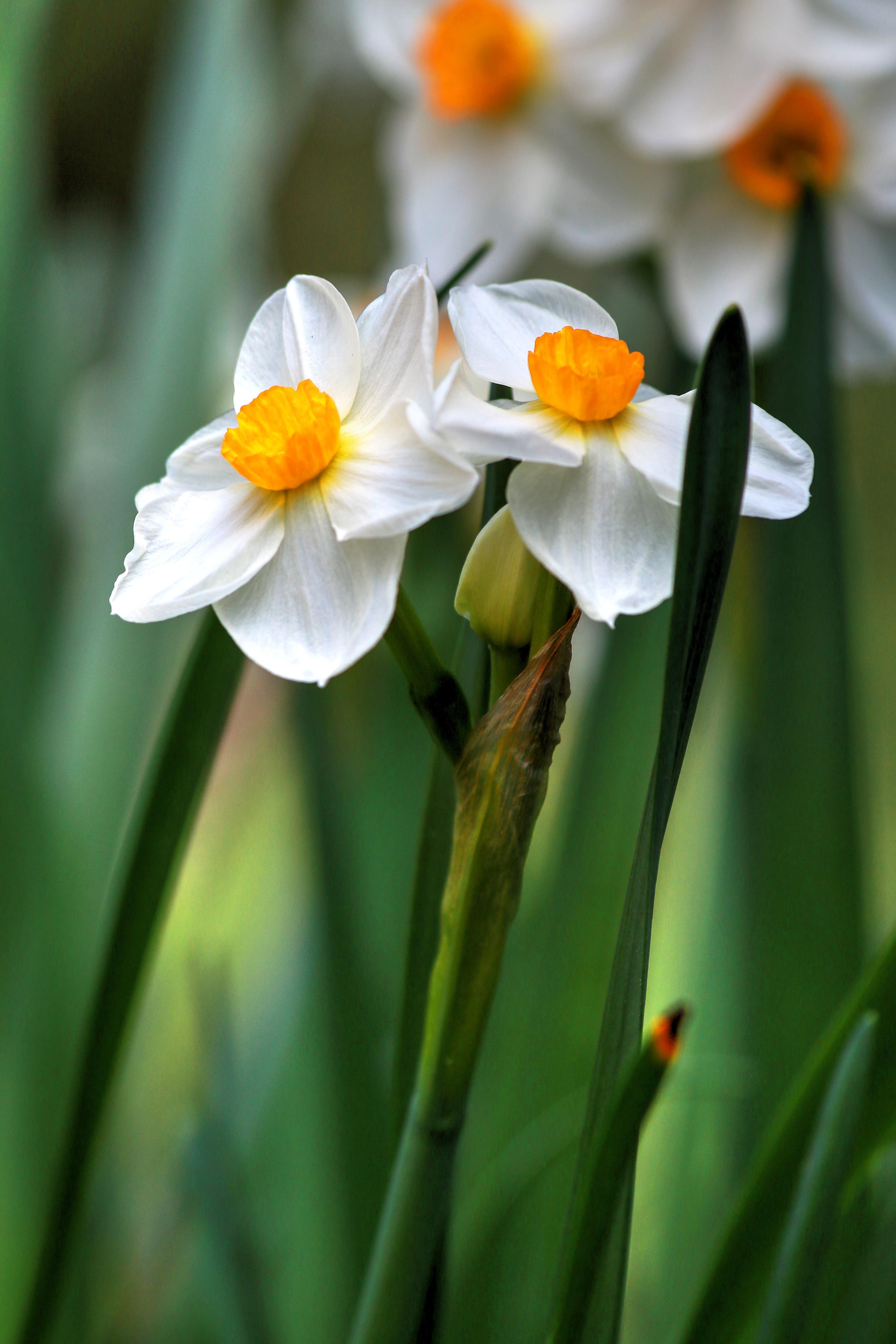 Daffodils by Carol R Montoya Fine Art Photograph