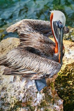 Brown Pelican Of Sebastian Inlet by Carol r Montoya Fine Art Photography