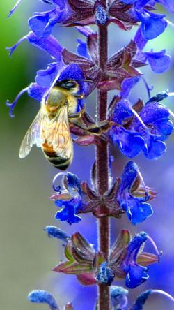 A European Honey Bee And It's Flowers by Carol R Montoya Fine Art Photography