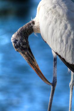 Wood Stork by Carol R Montoya Fine Art Photography