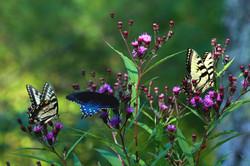Butterflies Three by Carol R Montoya Fine Art Photography