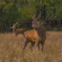 Image - Red Deer (FB_Wild Deer Ireland,