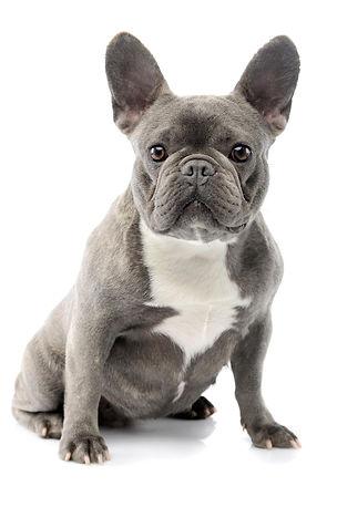 French-Bulldog-SFW.jpg