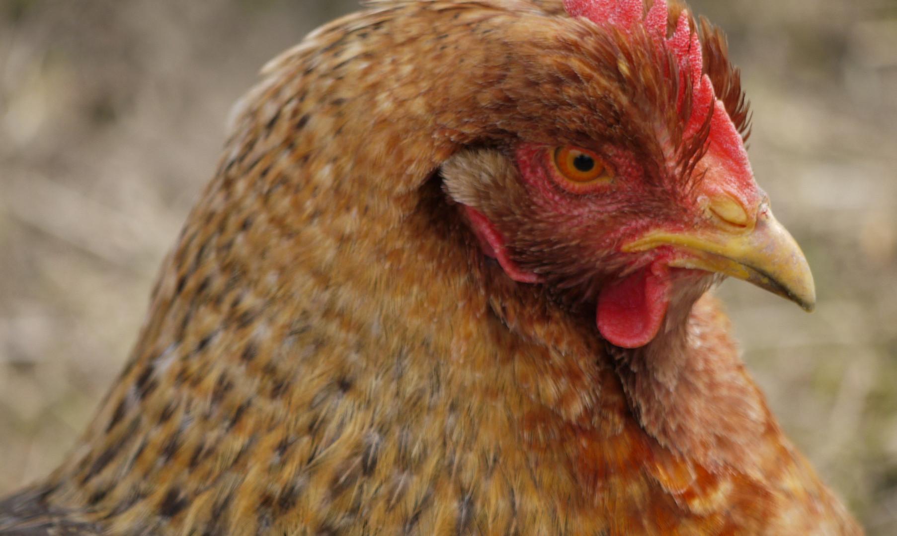 Hühner: