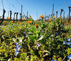 vignes et fleurs tout début de printemp