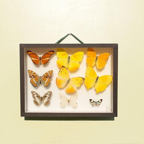 Cadre papillons naturalisés - vendu