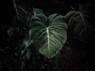 Coração folha